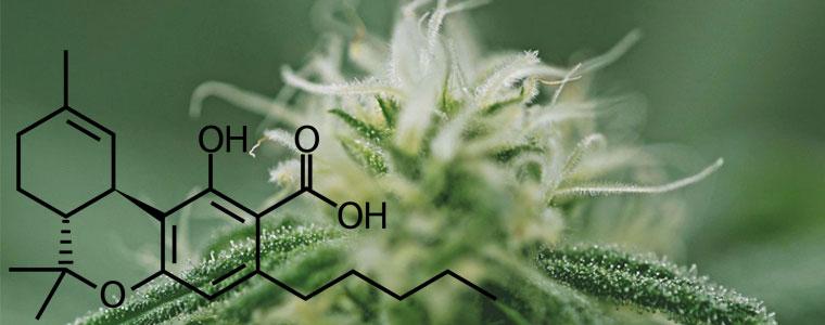 Zalety THCA – różnice i zależności z THC – BioHemp.pl