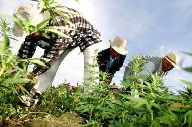 Portugalscy rolnicy: sezon konopny 2019 spisany na straty
