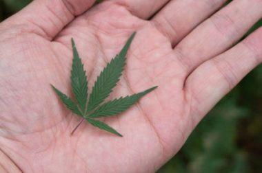 Uprawa medycznej marihuany dalej zakazana. Kupujemy susz z Kanady