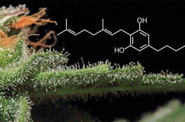 Dlaczego CBG jest jednym z najcenniejszych składników konopi?