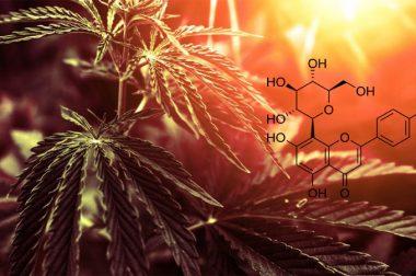 Czy witeksyna, składnik konopi, okaże się lekiem na raka?