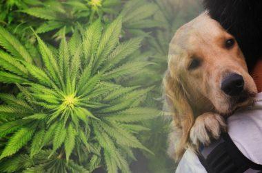 CBD może powstrzymać rozwój glejaka u ludzi i psów [NAJNOWSZE BADANIE]