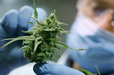 Główne zalety medycznej marihuany i zawartych w niej składników