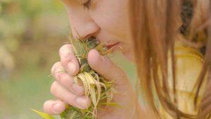 Właściwości medycznej marihuany