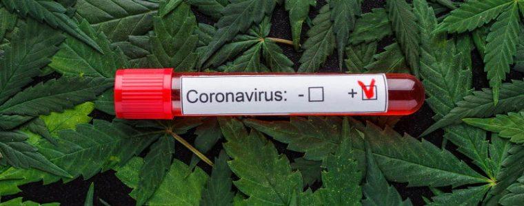 konopie COVID-19