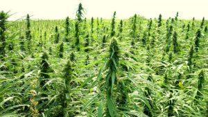 USA zwiększa limit THC do 1%