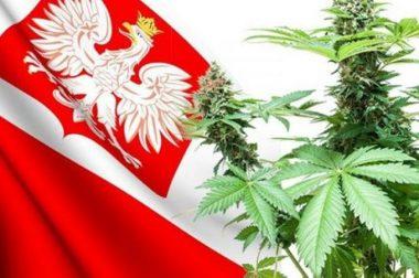 Wstępna zgoda rządu na uprawy medycznej marihuany w Polsce oraz 0,3% THC w konopiach siewnych