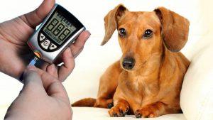 cukrzyca u psa lub kota