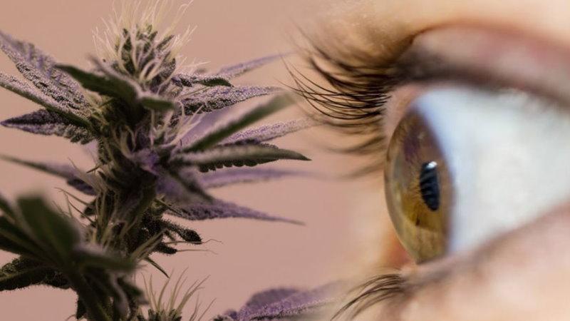 marihuana w leczeniu jaskry