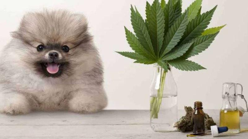 CBD dla psów i kotów Hemp Care BioHemp