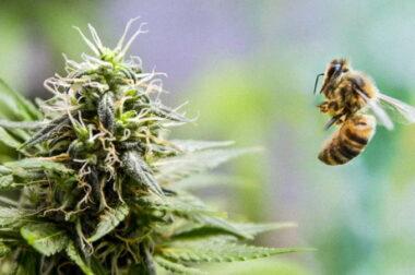 Pszczelarz uprawiał konopie indyjskie dla swoich pszczół